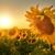 奔跑的向日葵